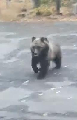 На Алтае медведи пришли на предприятие