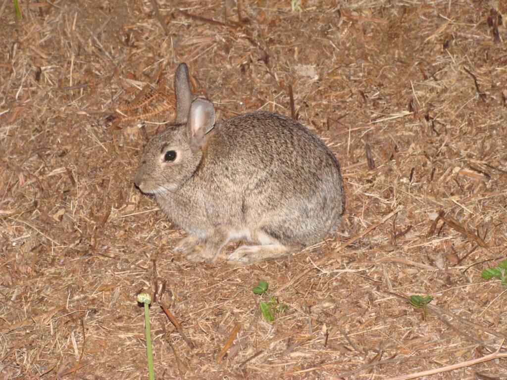 Кролик тоже дичь