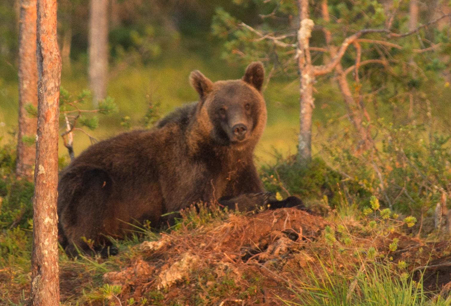 Медвежья благодарность