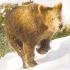 косолапый зверь