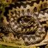 Свернутая в клубок змея