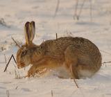 Разведение зайцев